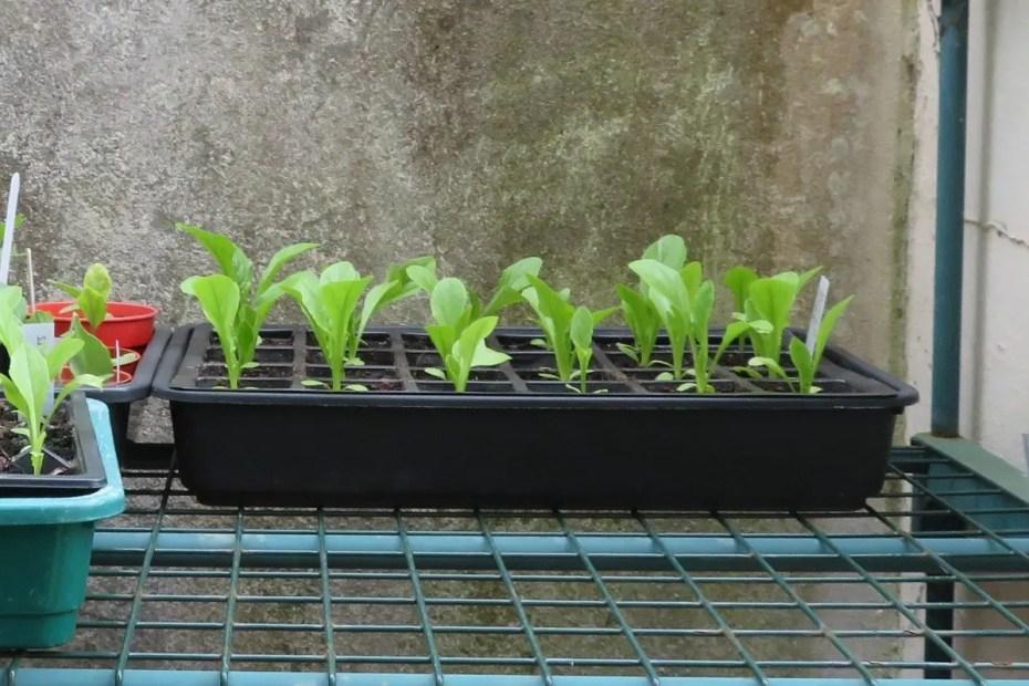 Lettuce seedlings growing in modules