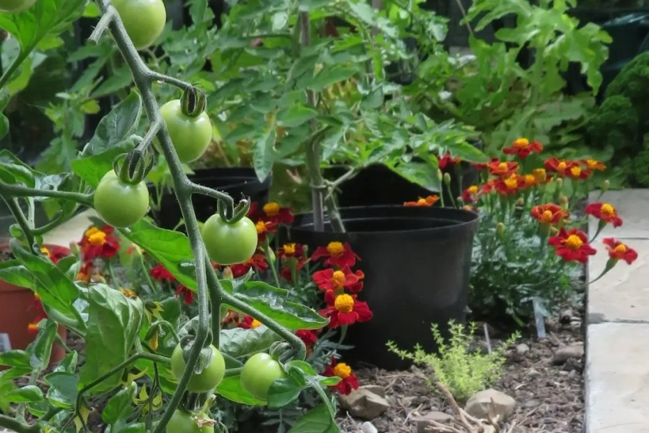 Cherry tomatoes and French Marigolds