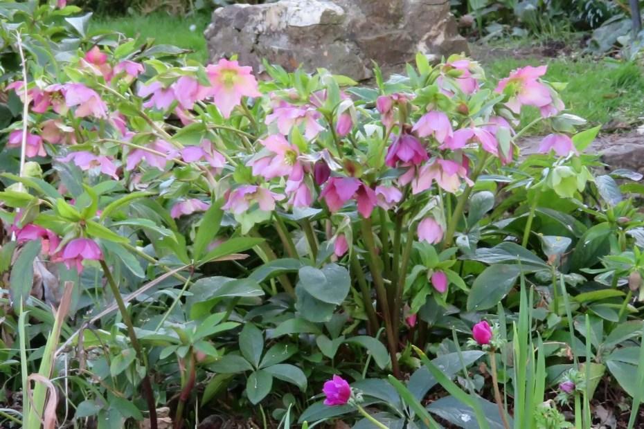 Hellebores in flower