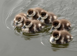 Egyptian ducklings