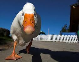 duckgrouch