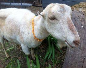 amandas goat