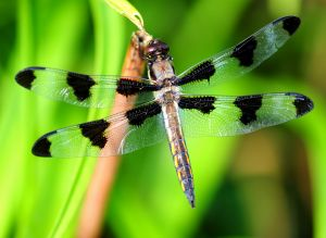Animals for Kids Dragonfly