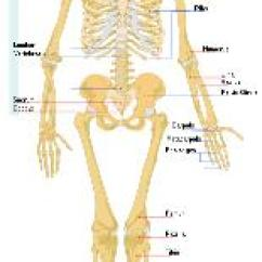 Concept Map Skeletal System Diagram Internal Telephone Wiring Science For Kids Bones And Human Skeleton