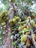 Plenty of jackfruits
