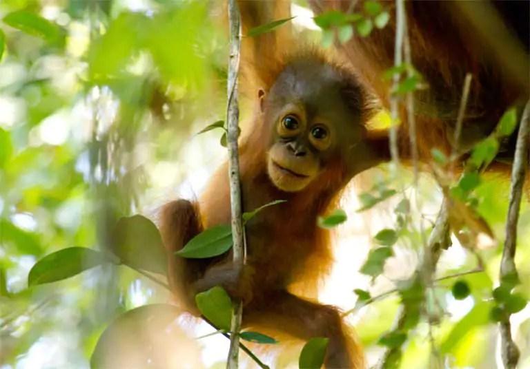 Orang-oetan op de rand van uitsterven