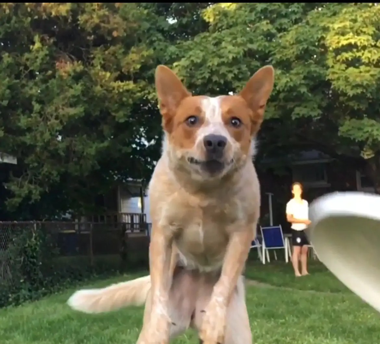 Episch grappig filmpje: hond mist frisbee in slowmotion
