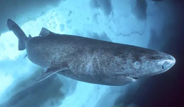 De Groenlandse haai kan ruim vierhonderd jaar oud worden