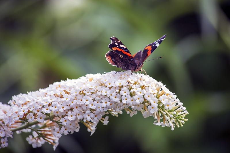 Vlinderen zie ze fladderen