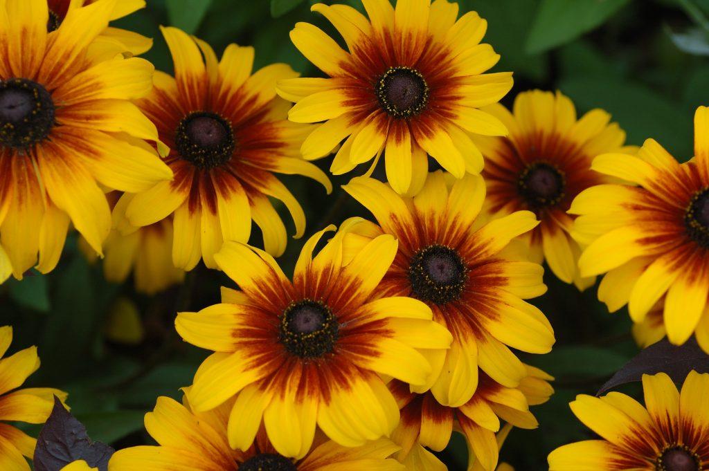 Plante vivace a fleur  du japon et des fleurs
