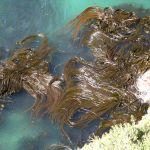 zeewier4kelp