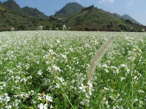 Hoa cải trắng, Mộc Châu