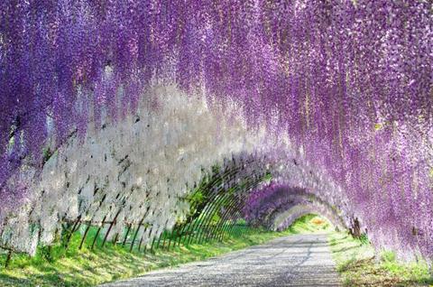 Đường hầm hoa Wisteria, Kitakyushu