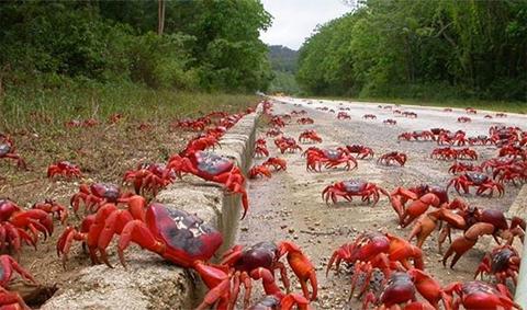 Gần 120 triệu con cua đỏ di cư ra biển từ hòn đảo Christmas.