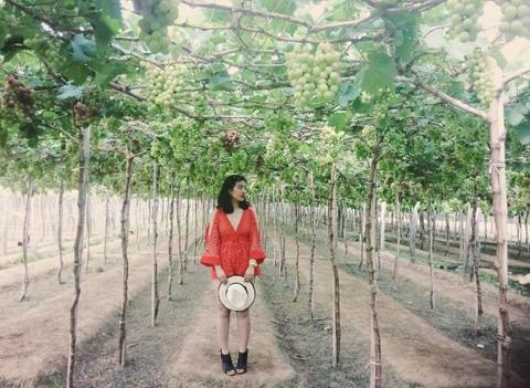 Vườn nho Ba Mọi – Ninh Thuận
