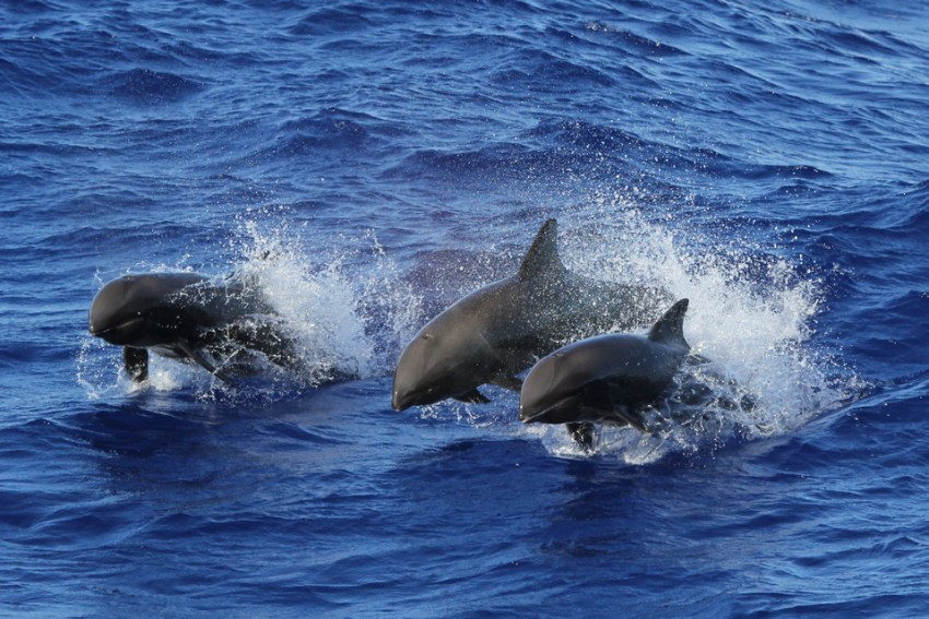 What Can Business Owners Learn From Blue Planet 2? - False Killer Whales - Image From pifsc.noaa.gov
