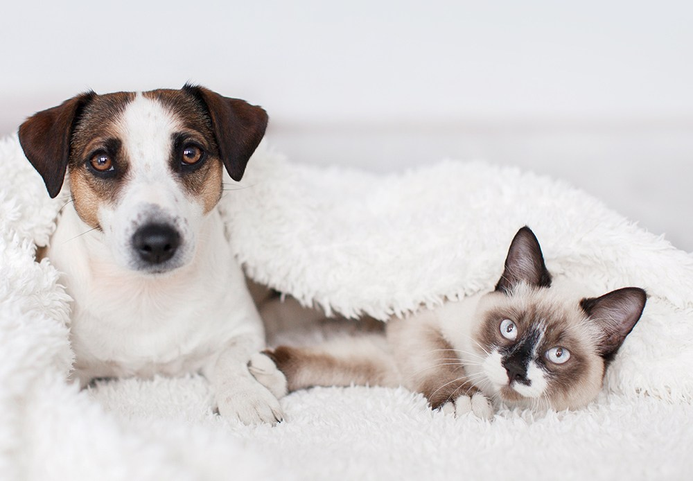Cat and dog sat on bed under blanket together