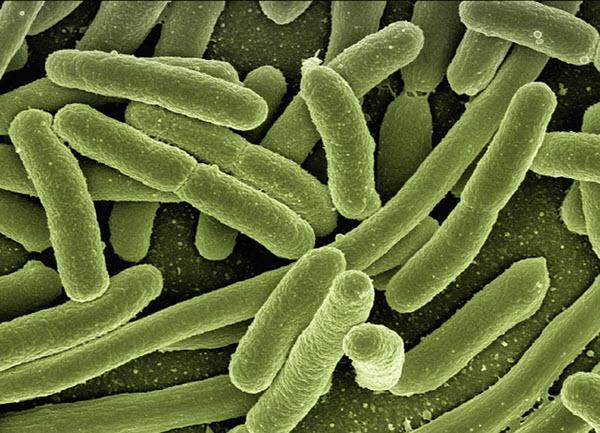 gut bacteria cells