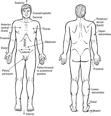 Clinical Anatomy Terms to Describe the Eight Body Regions