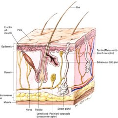 Dermis Layer Diagram Volvo Wiring Diagrams 940 The Anatomy Of Skin Dummies Has Two Layers Called Epidermis And