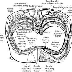 Diagram Of Rib Cage And Muscles Deadlift Worked The Nerves Blood Vessels In Thoracic Region - Dummies