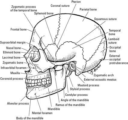 human mandible diagram toilet vent plumbing the bones of face dummies is a u shaped bone that forms lower jaw and it s easily palpated horizontal part called body