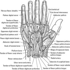 Wrist And Hand Unlabeled Diagram 1997 Dodge Dakota Tail Light Wiring The Extrinsic Muscles Of Dummies Flexor Carpi Radialis This Muscle Originates On Medial Epicondyle Humerus Inserts Base Second Third Metacarpals