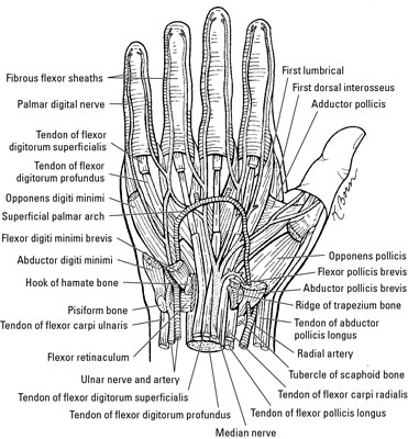 wrist and hand unlabeled diagram 2003 chevy tahoe parts the extrinsic muscles of dummies flexor carpi radialis this muscle originates on medial epicondyle humerus inserts base second third metacarpals