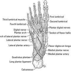 Veins In The Foot Diagram 1989 Toyota Truck Wiring Blood Vessels And Lymphatics Of Ankle Dummies Following Arteries Which Bring To Include Branches Anterior Posterior Tibial