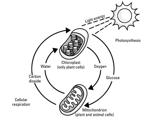 function of water in cellular respiration and photosynthesis