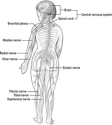 What You Should Know about the Nervous System for the EMT