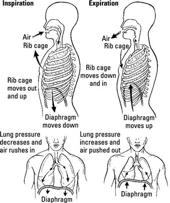 An Overview of the Respiratory System for the EMT Exam