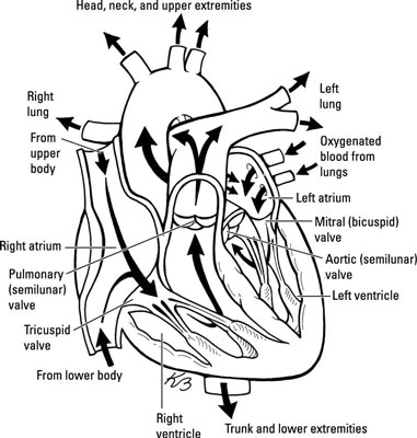 A Survey of Major Cardiovascular System Structures for the