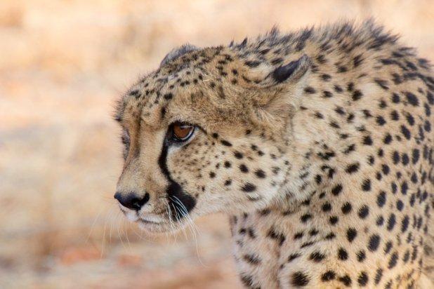 Namibya'daki artist çita :)