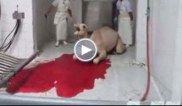 camel-slaughter-copy