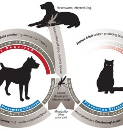 the life cycle of heartworms in dogs and cats is shown in this diagram it [ 1211 x 800 Pixel ]