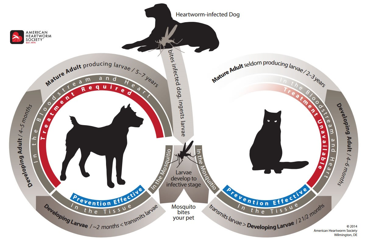 hight resolution of the life cycle of heartworms in dogs and cats is shown in this diagram it