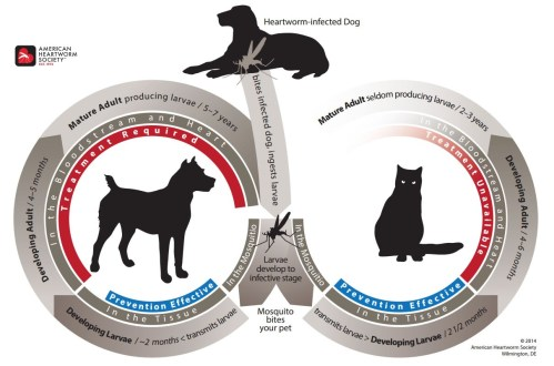 small resolution of the life cycle of heartworms in dogs and cats is shown in this diagram it