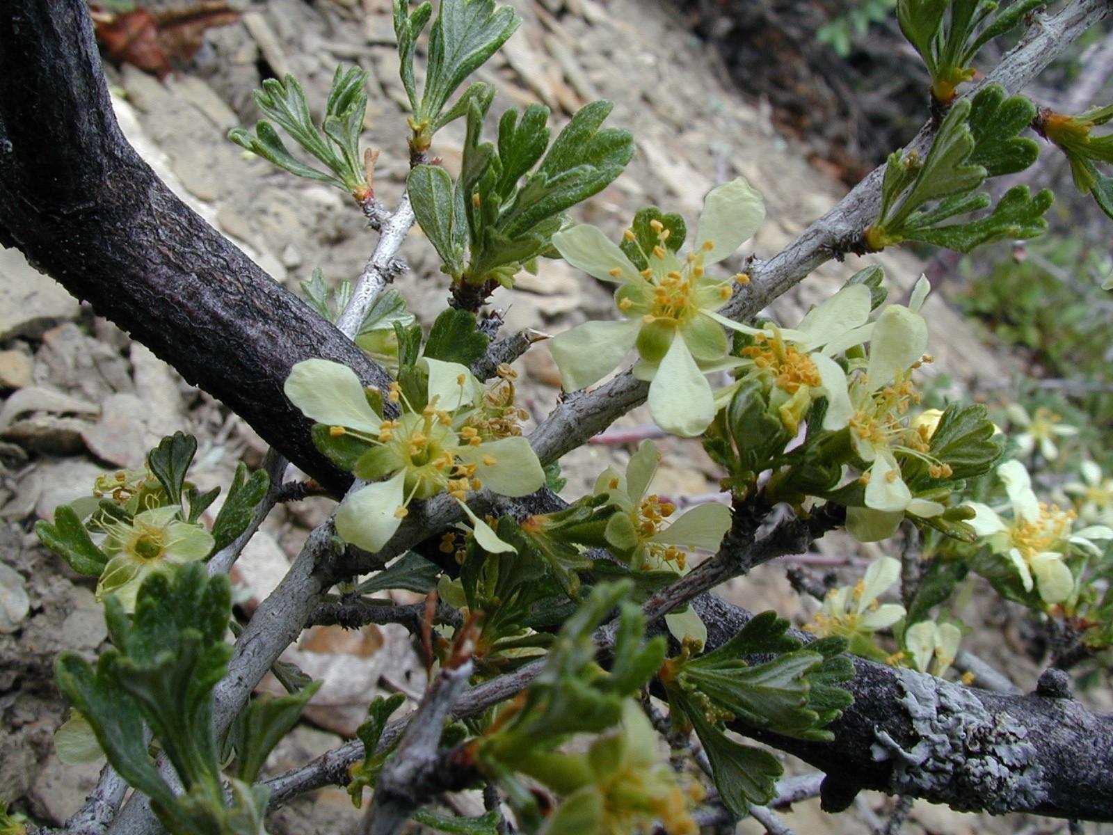 Purshia tridentata  Bitterbrush  near Durango Colorado