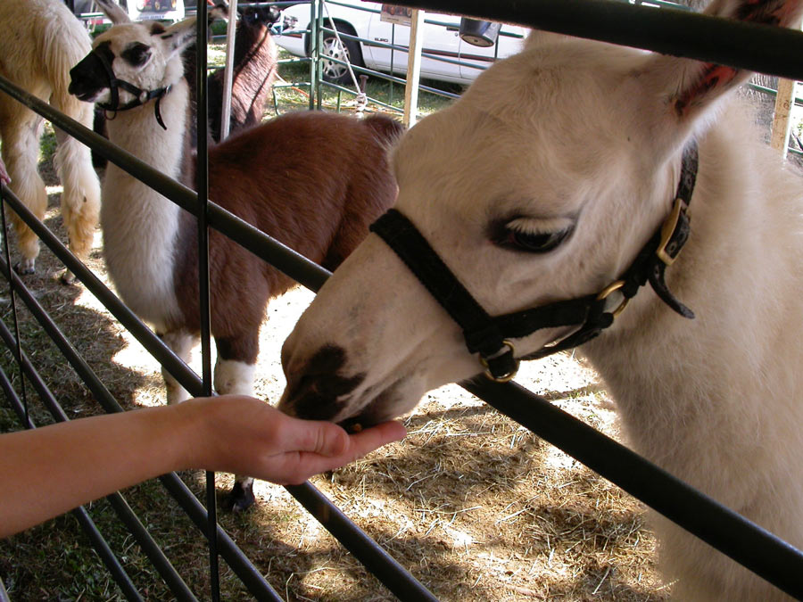 Petting Zoo  The Durham Agricultural Fair Association Inc