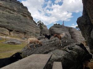 Cabras en Castroviejo