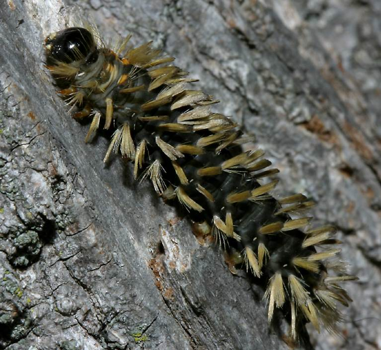 Poisonous Caterpillars Black Are White And