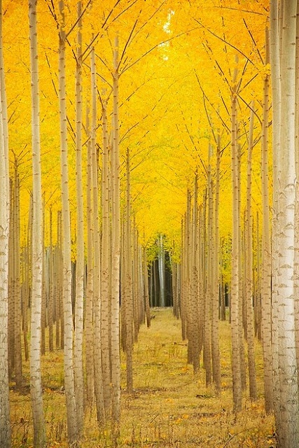 trees, aspen