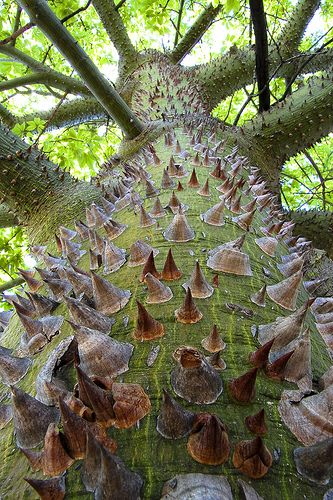 Silk floss tree, South America  by alan_sailer on flickr