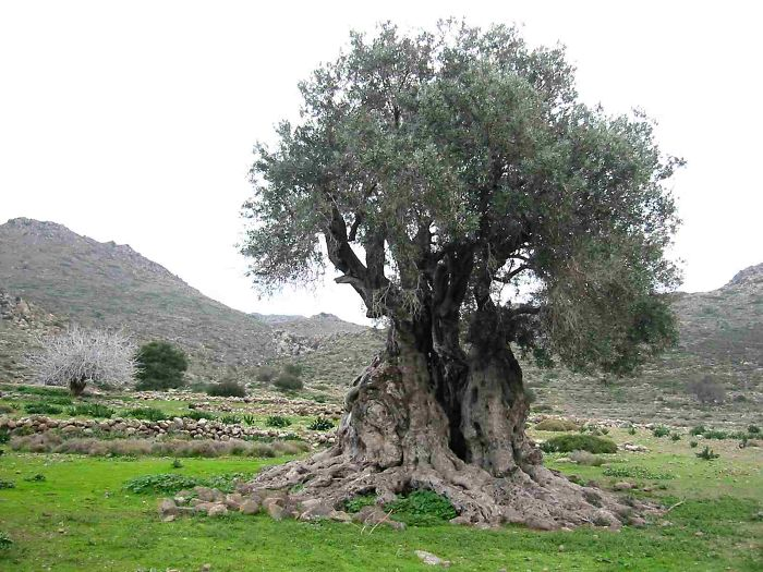 1000+ year old tree on Greek island of Aegina