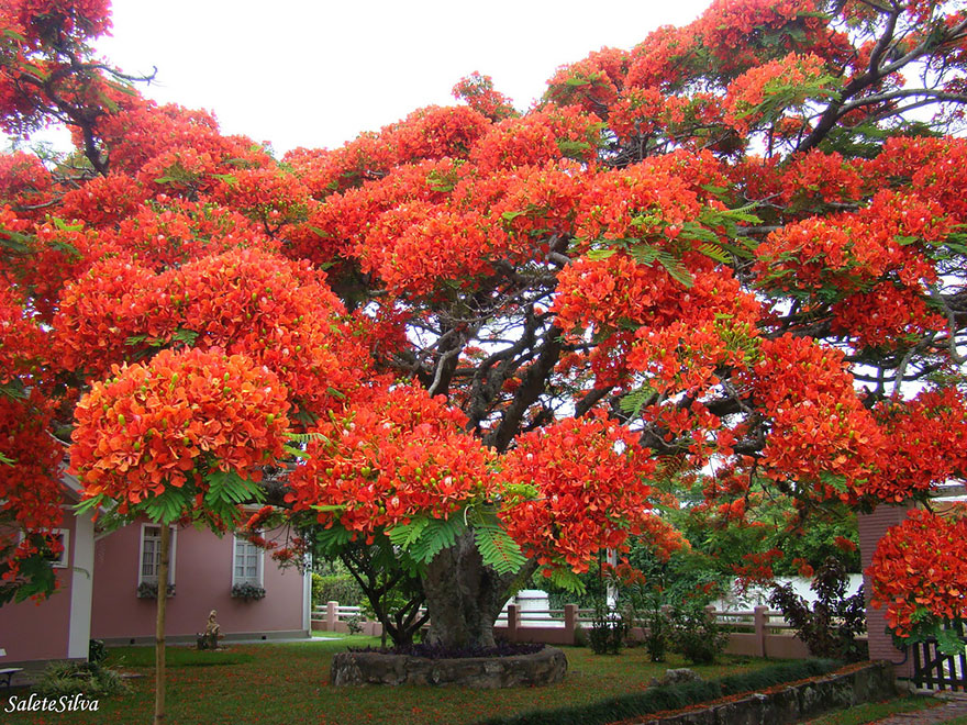The flamboyant tree, Madagascar.  By Salete T Silva