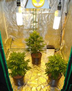 Blog Top 5 Graines De Cannabis Pour Culture Intrieure