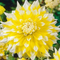 Giant Dinnerplate Dahlia Grand Prix