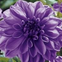 Giant Dinnerplate Dahlia Lilac Time | K. Van Bourgondiens
