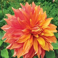 Giant Dinnerplate Dahlia Mango Madness